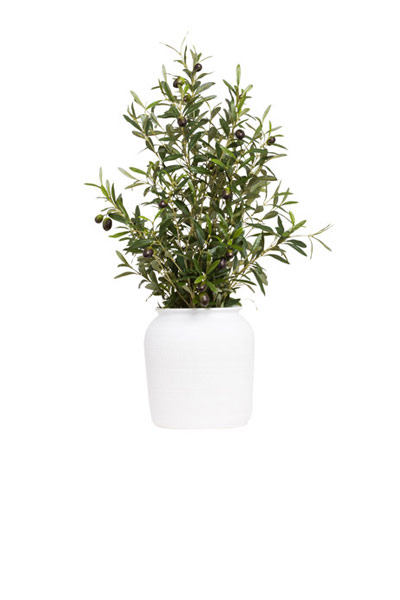 OLIVE BRANCH IN WHITE POT