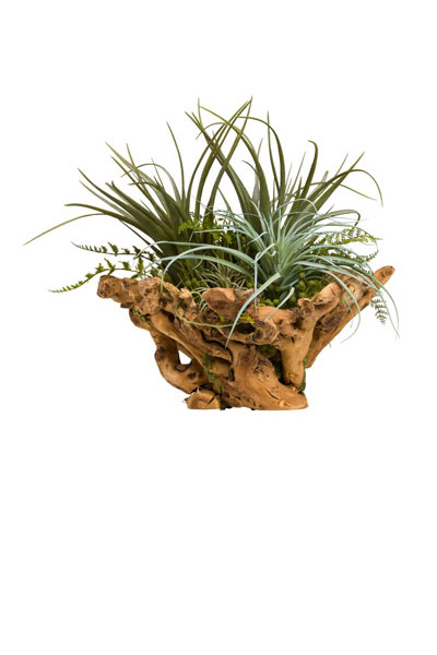 TILLANDSIA IN WOOD BOWL