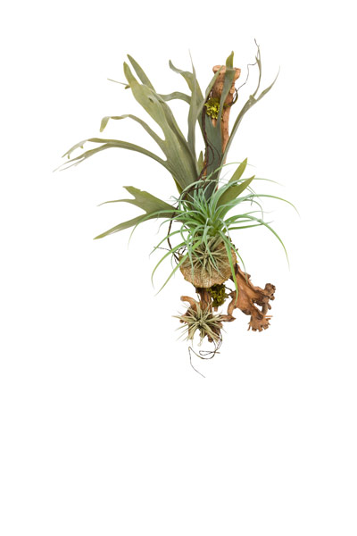 STAGHORN/ TILLANDSIA ON WOOD WALL HANGING