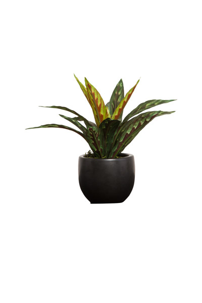 BRAZIL DRACENA IN BLACK POT