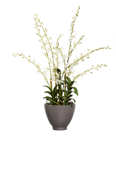 CREAM VANDA IN GREY BOWL