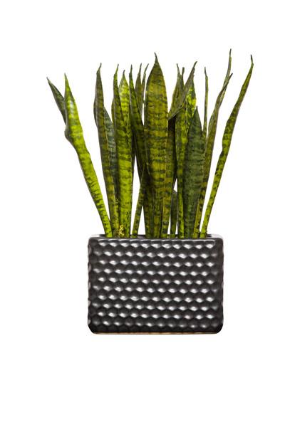 SNAKE PLANT IN TALL RECTANGLE BLACK POT