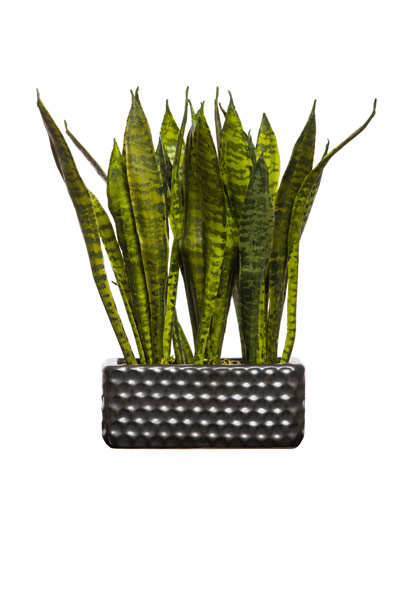SNAKE PLANT IN SMALL RECTANGLE BLACK POT