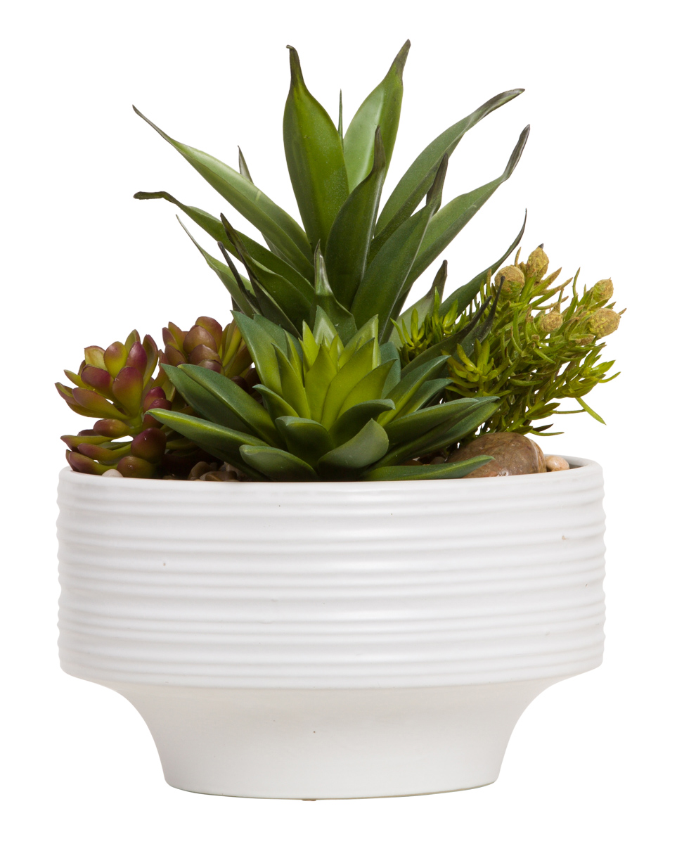 ASST SUCCULENT IN WHITE RIBBED POT