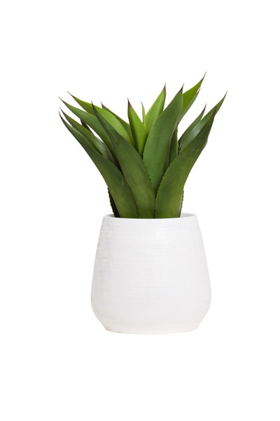 SM AGAVE IN WHITE BENJI POT
