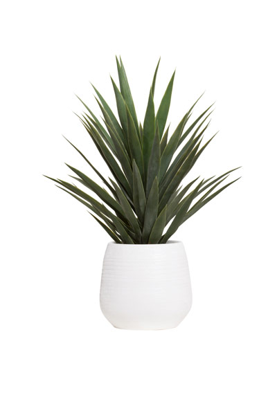SINGLE YUCCA IN WHITE BENJI POT