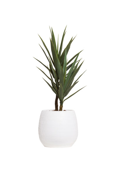 ( OUT OF STOCK. ETA JUNE 2019 ) 3.5' YUCCA X 2 IN WHITE BENJI POT