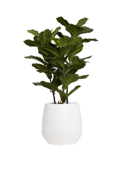 3.5' FIDDLE FIG BUSH IN WHITE BENJI POT