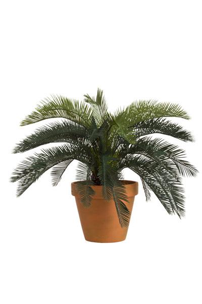 CYCAS PALM IN T.C. POT
