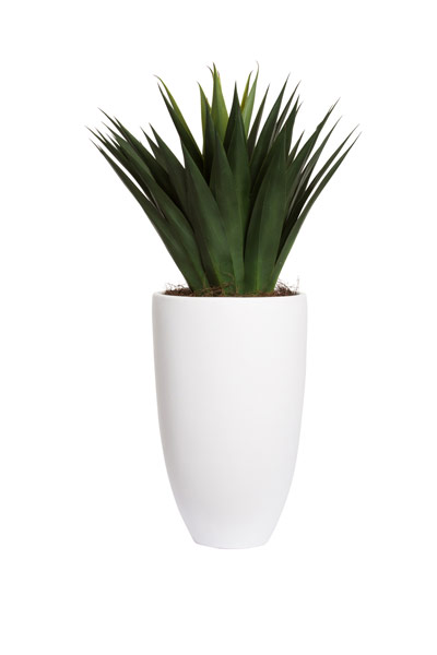 LARGE AGAVE IN TALL WHITE ROUND POT