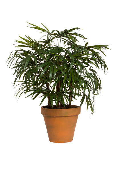 4' LADY FINGER PALM IN T.C. POT