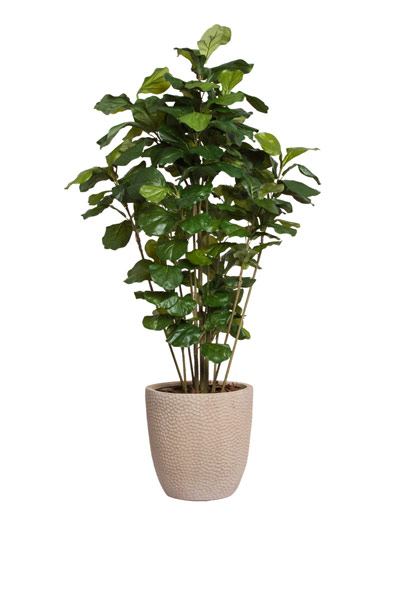 5' FIDDLE FIG BUSH/BASKET