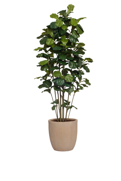 6.5' FIDDLE FIG BUSH/BASKET