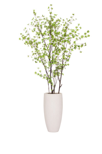 8' ASIAN BIRCH IN TALL WHITE RIBBED POT