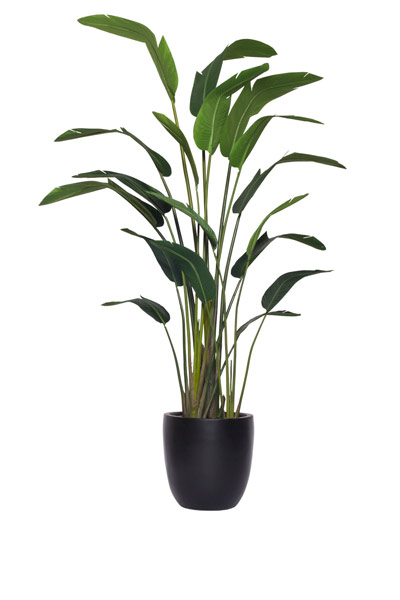 9.5' TRAVELERS PALM IN BLACK POT