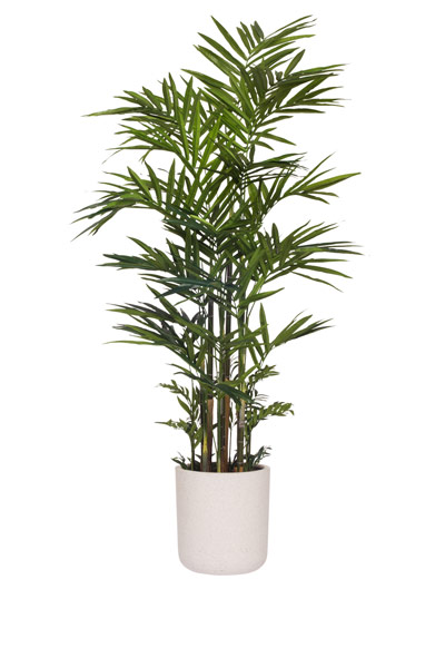 9.5' DELUXE KENTIA PALM/ BASKET