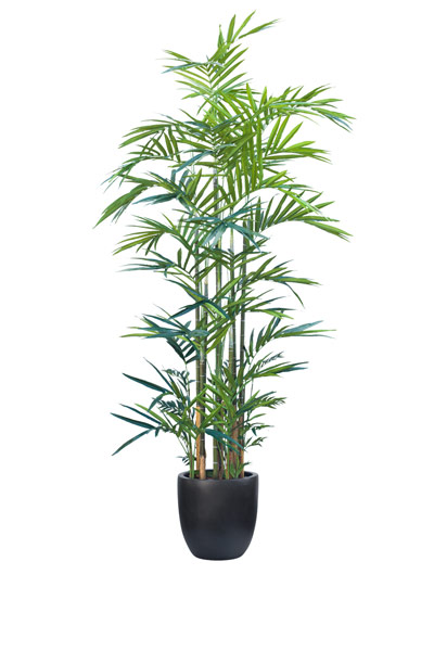 12' DELUXE KENTIA PALM/BASKET