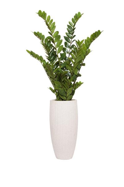 62 Zamifolia In Tall White Ribbed Pot Lux Art Silks