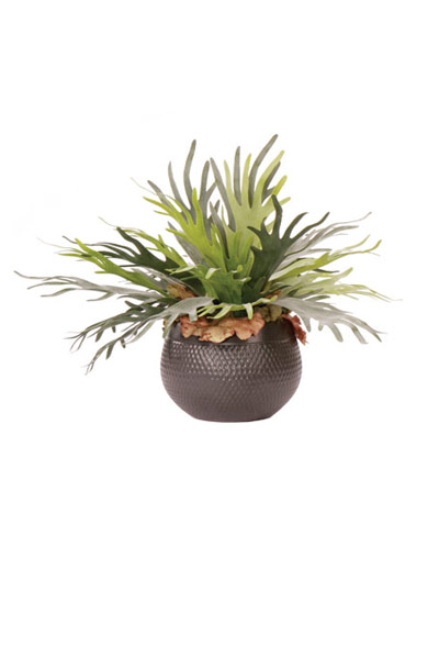 Staghorn in Black Pot