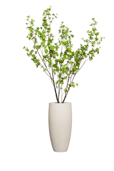 6.5' GREEN ASIAN BIRCH IN WHITE RIBBED POT