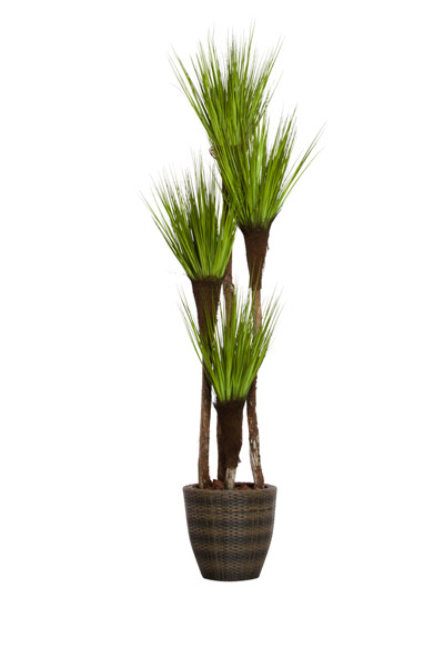 7.5' SKINNY GRASS TREE/BASKET