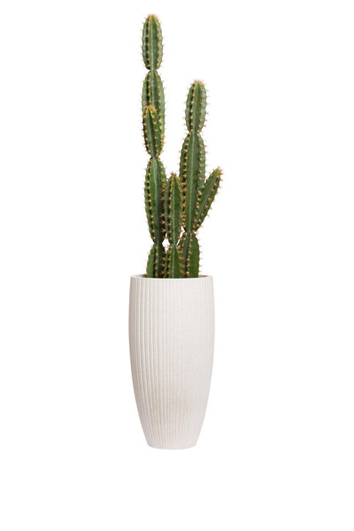 6.5' CACTUS IN WHITE RIBBED POT