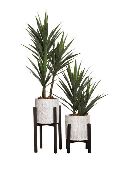( OUT OF STOCK. ETA JUNE 2019 ) YUCCA X 3 IN PLANT STAND / ITEM ON LEFT SIDE ONLY