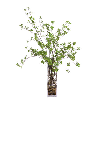 Dodan Tree in Tall Square Vase Waterlike