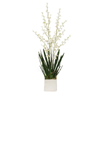 Large White Oncidium in a White Cont.