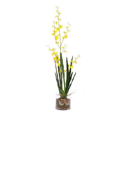 Yellow Oncidium / Cylinder