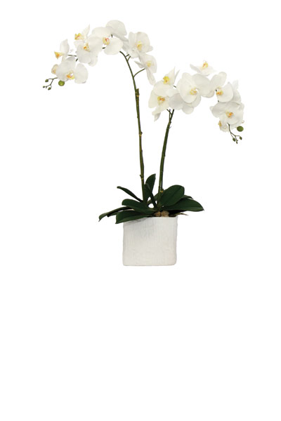 White Phal in a White Square Cont.