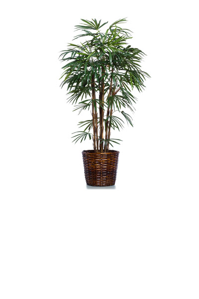 6' SKINNY LADY FINGER PALM/BASKET