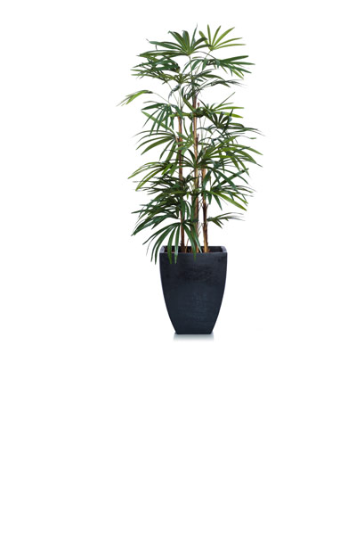 5' SKINNY LADY FINGER PALM IN BLACK SQUARE