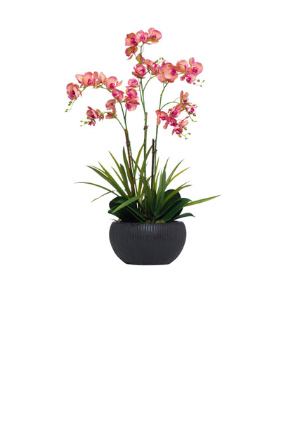 Variegated Fuchsia Phalaenopsis in Brown Bowl