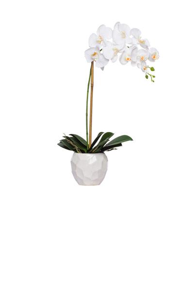 White Phal Single in White Chipped Pot