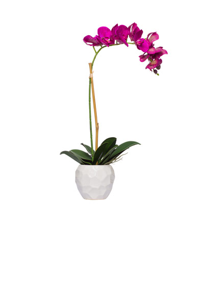 Fuschia Phal Single in White Chipped Pot