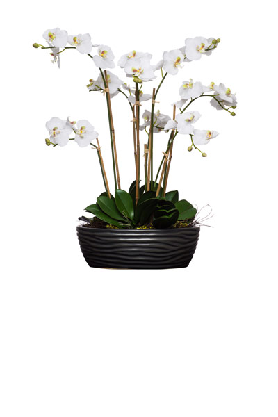 White Phal in Black Oval Bowl