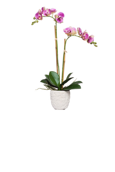 Double Verigated Lav Phal in White Coral Pot