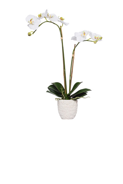 White Doulbe Phal in White Coral Pot