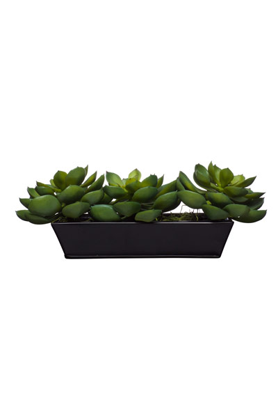 Echeveria in Small Black Tin Planter