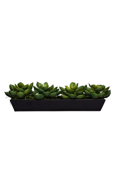 Echeveria in Medium Black Tin Planter