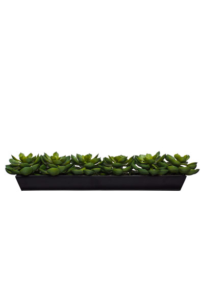 Echeveria in Large Black Tin Planter