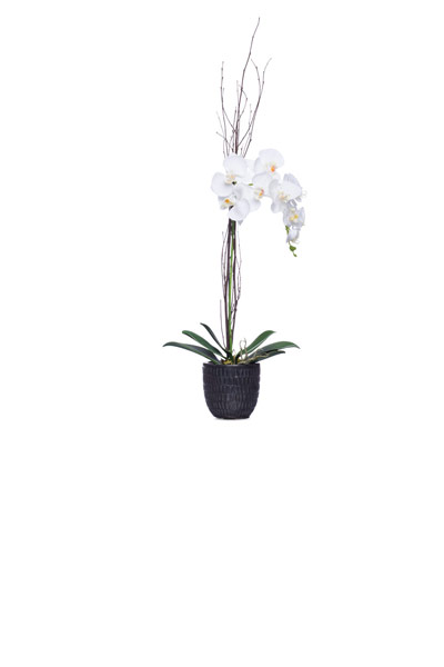 White Phal in Black Malta Pot