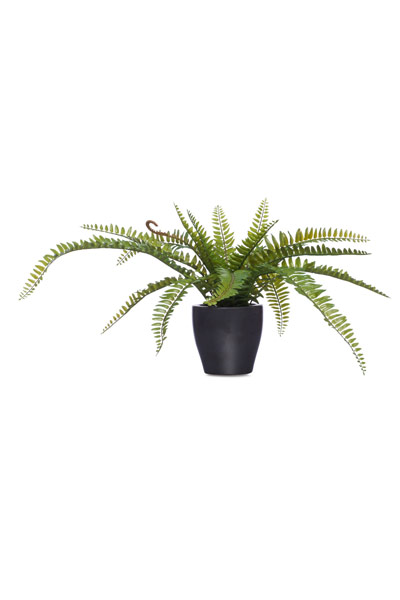 Fern in Black Pot