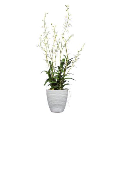 Cream James Story Orchid in Cream Pot