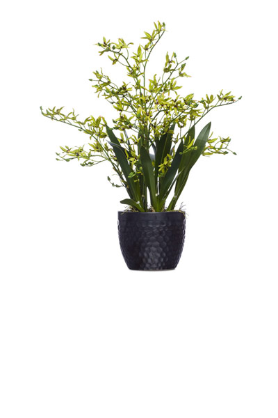 Green Dendrobium Orchid in Black Pot