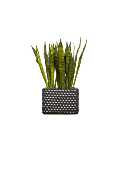 SNAKE PLANT IN TALL RECTANGLE BLACK POT