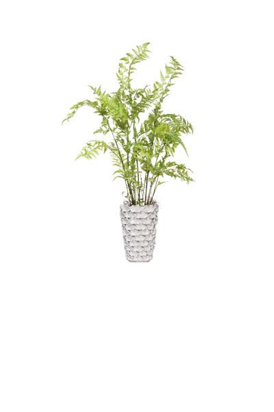 **Tree Fern in White Truffle Vase