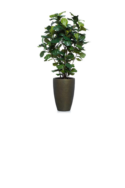 5.5' FIDDLE FIG BUSH IN TALL BRONZE POT