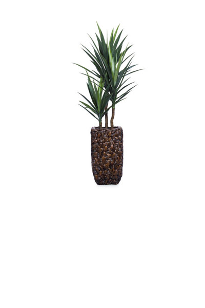 ( OUT OF STOCK. ETA JUNE 2019 ) 5' YUCCA IN SMALL BAC BAC